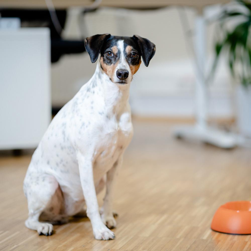 Bürohund Maider